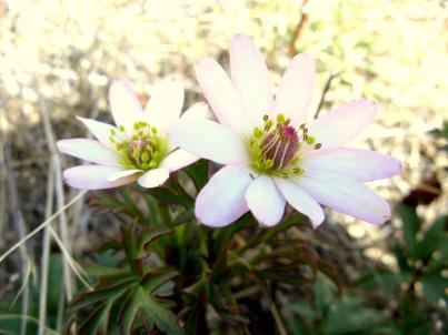 anemone twin