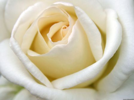 a-big-white-rose-5d