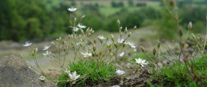 spring sandwortr flora