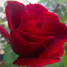 Introduction to Shamanic Herbalism ~ Lesson 5 ~ rose1